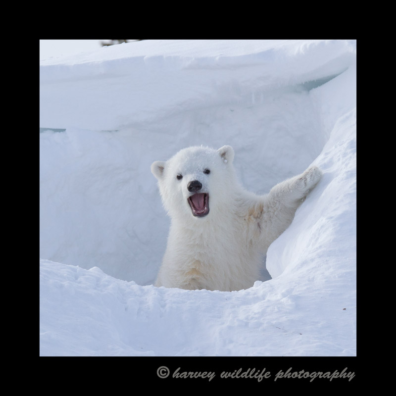 polar_bear_cub_barking