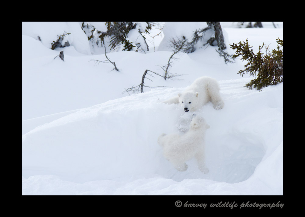 polar_bear_cub_chase
