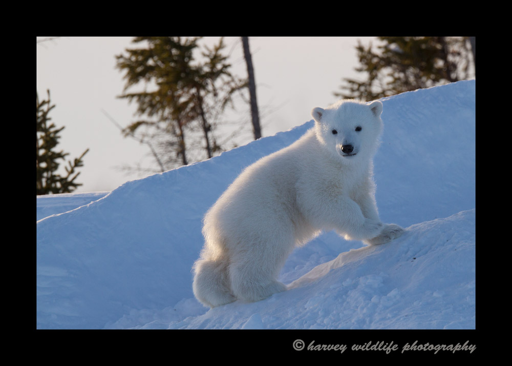polar_bear_cub_den_evening