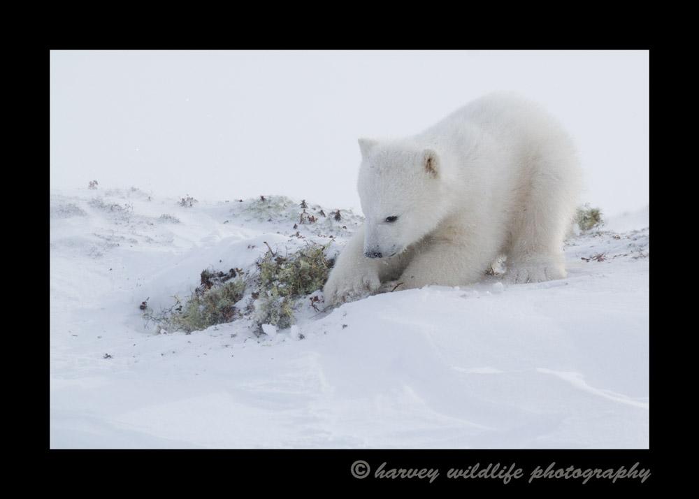 polar_bear_cub_digging