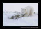 polar_bear_cub_digging