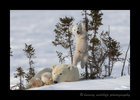 Polar bear cub climbing a small tree in Wapusk National Park.