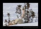Polar bear cub climbing a small tree in Wapusk National Park.