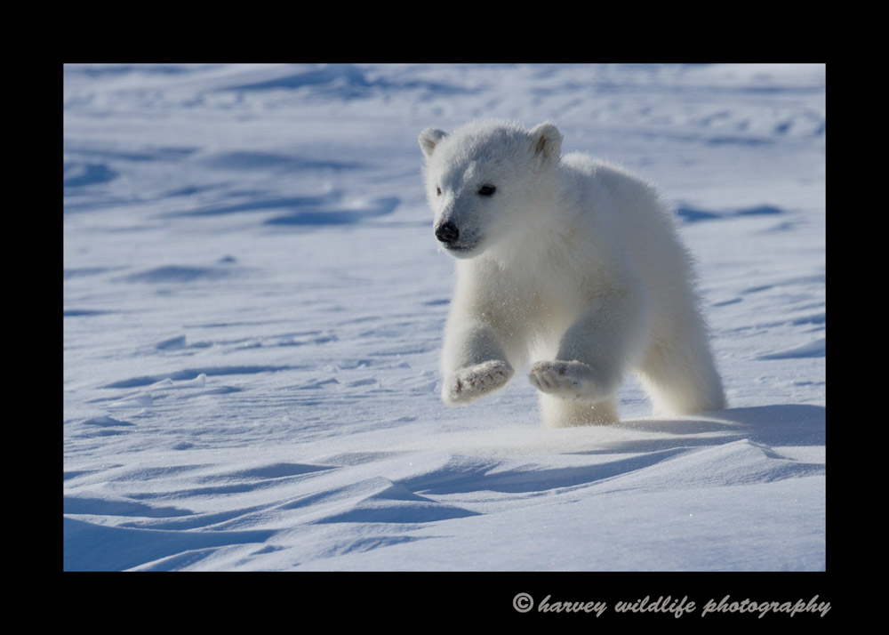 polar_bear_cub_jumping_2013