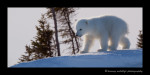 polar_bear_cub_on_crest