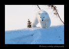 polar_bear_cub_on_den