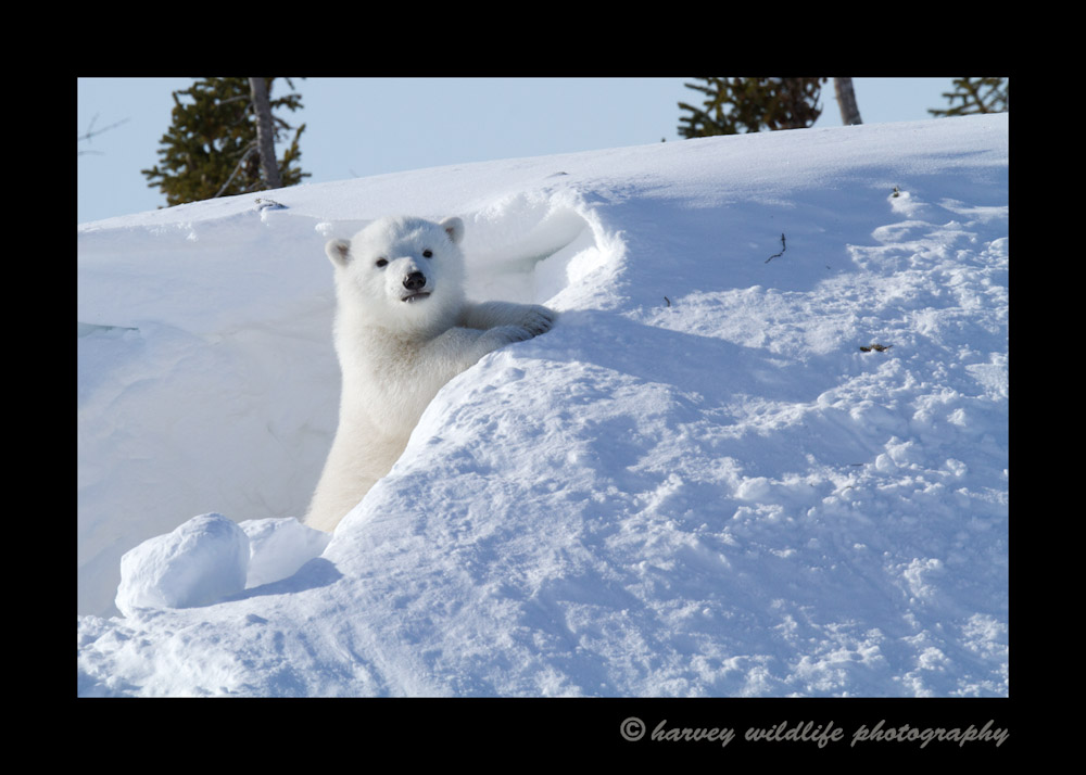 polar_bear_cub_posing_in_den