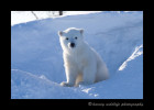 polar_bear_cub_sitting_at_den