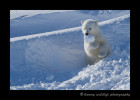 polar_bear_cub_snow_ball