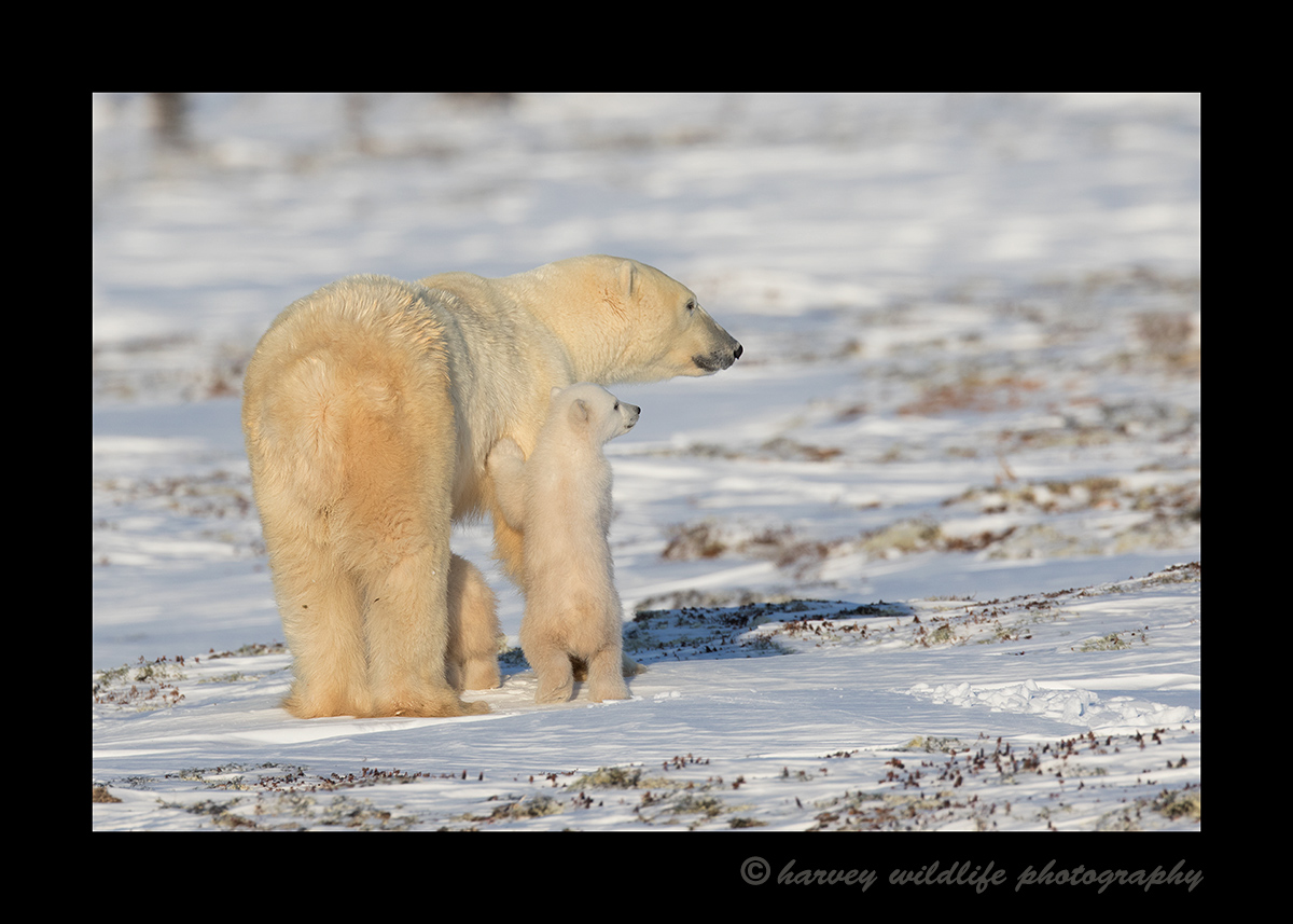 Standing cub and mom