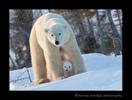 polar bear cub between moms legs