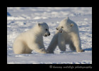 polar_bear_cubs_fighting