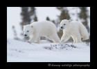 polar_bear_cubs_on_snow_ridge
