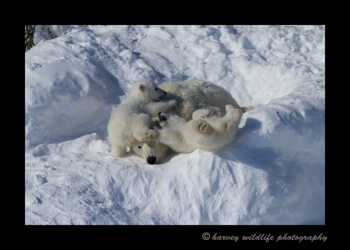 polar_bear_cubs_playing_on_mom