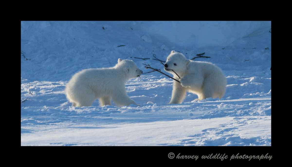 polar_bear_cubs_playing_with_stick