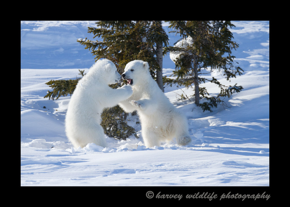 polar_bear_cubs_sparring