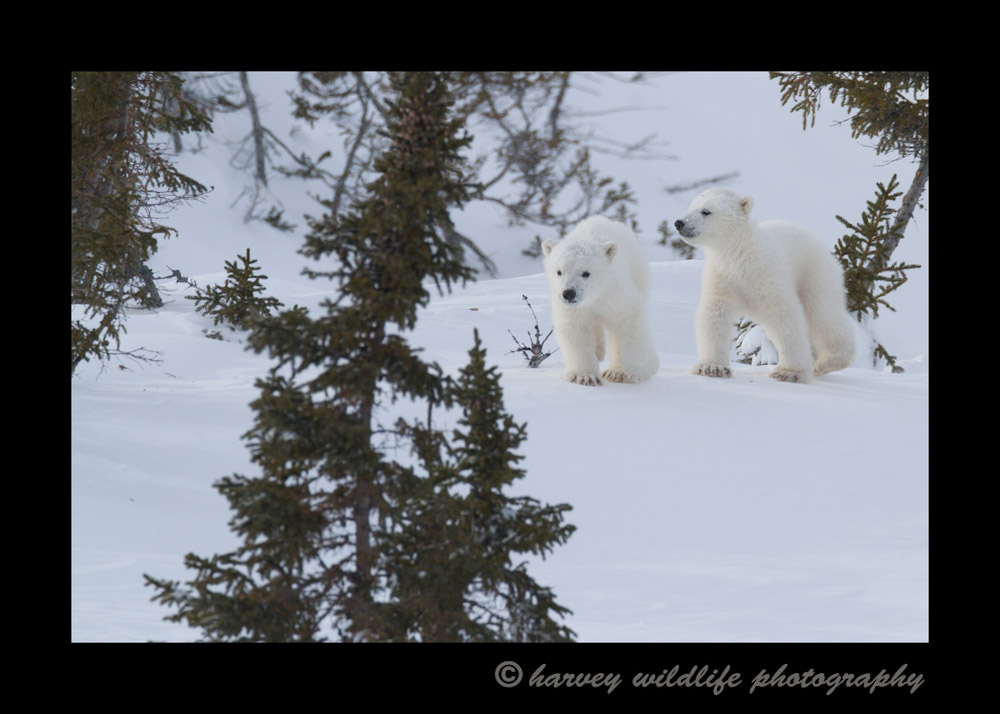 polar_bear_cubs_walking