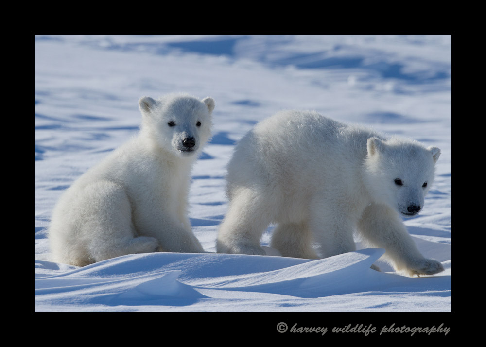 polar_bear_cubs_walking_2013