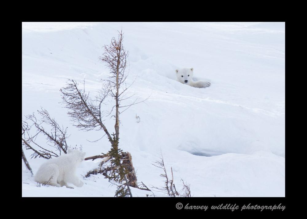 polar_bear_den