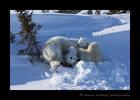 Polar bear family relaxing.