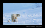 Polar bear mom and twins walking away into the distance in Wapusk National Park.