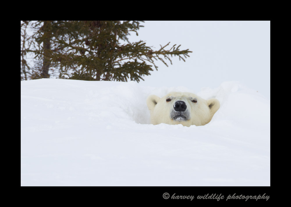 For the first four days of our polar bear safari, this was the closest that we got to a picture of a polar bear. I think she may have popped her head out of her den two or three times that day.