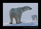Polar bear mom and cub on a ridge in Wapusk National Park.