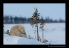polar_bear_mom_and_cub_2010