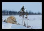 polar_bear_mom_and_cub_2010