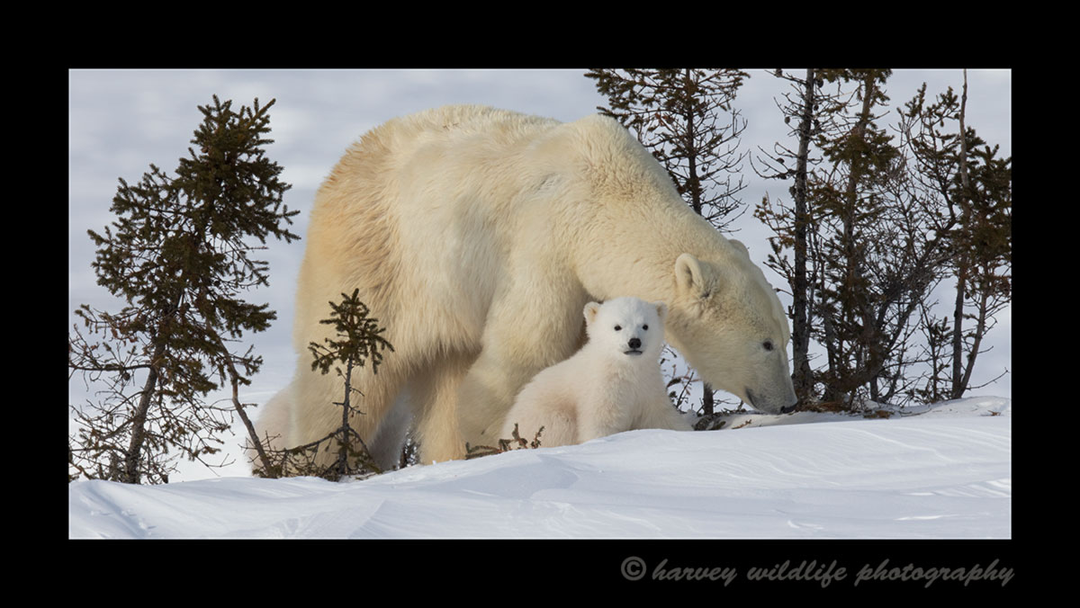 Polar bear mom and cub in trees in Wapusk National Park in spring of 2015.