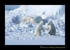 polar_bear_mom_and_cubs_playingws