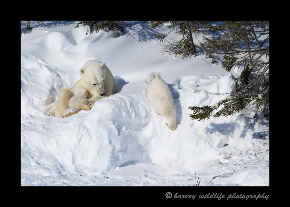 polar_bear_nursing_time