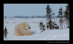Picture of a polar bear mom and cub resting.