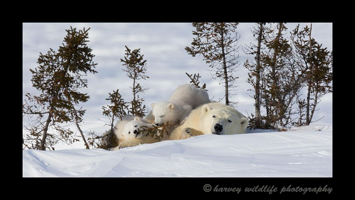 panoramic image of polar bear mom and twins.