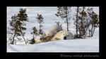 panoramic image of polar bear mom and twins.