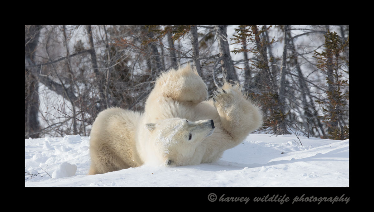 Mother polar bear enjoying a snow bath in Wapusk National Park.
