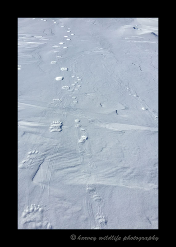 Polar bear mom and twins footprints in Wapusk National Park