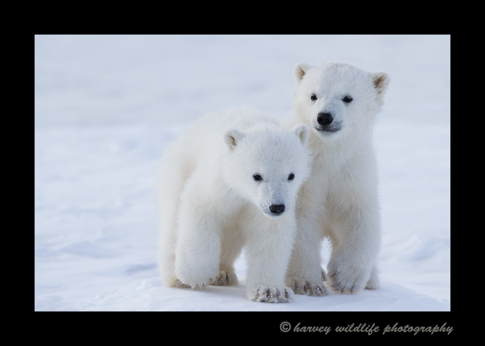 polar_bear_twins