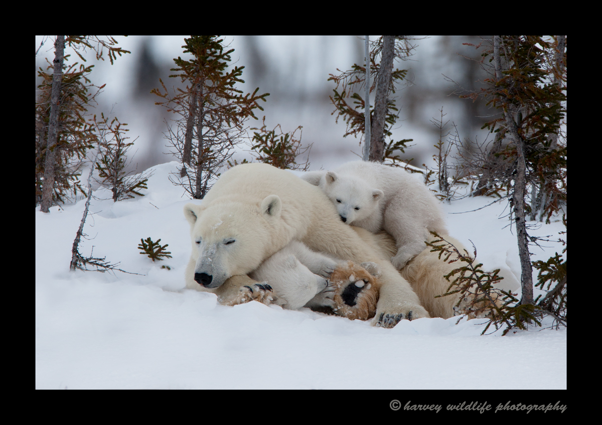 polar_bear_twins_and_mom_2010