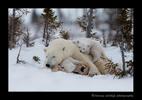 polar_bear_twins_and_mom_2010