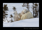 polar_bear_twins_relaxing_2015