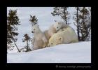 polar_bear_twins_relaxing_2015