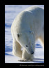polar_bear_walking_2013