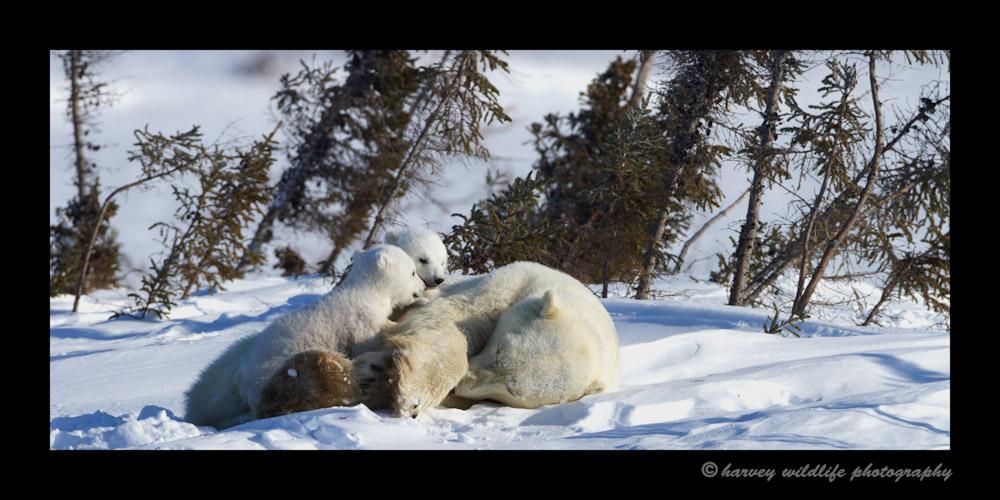 polar_bears_2012-1