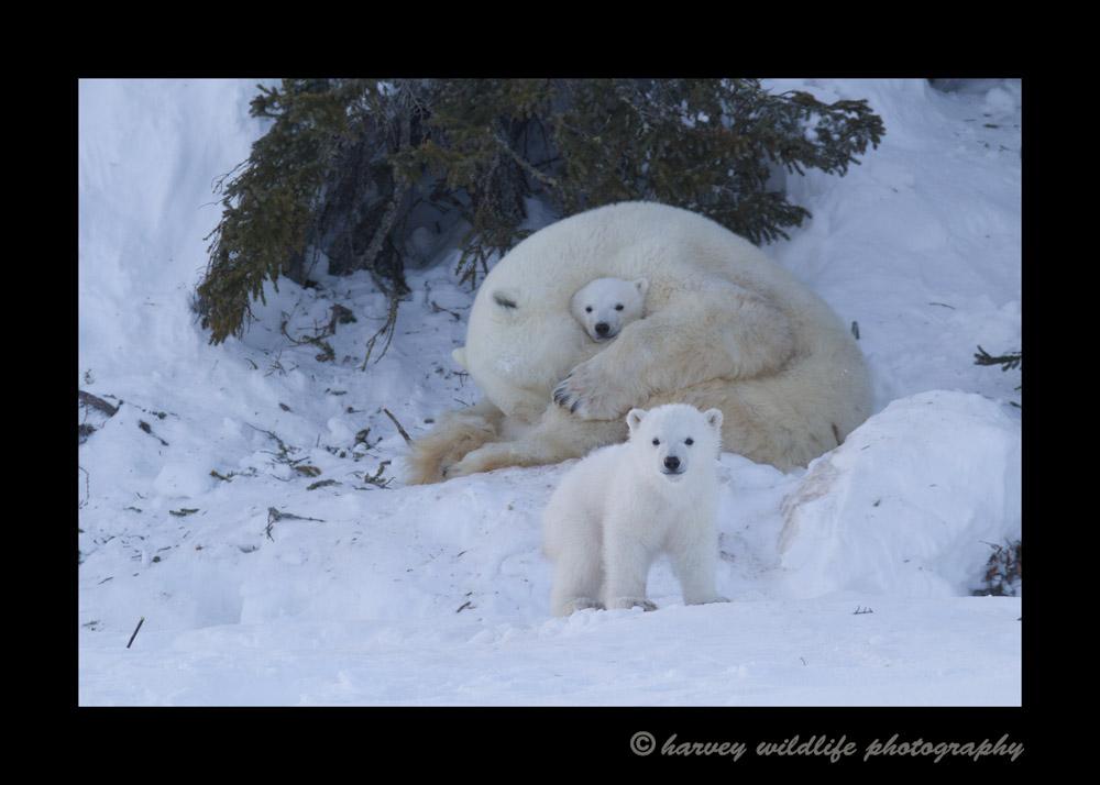 polar_bears_at_day_den