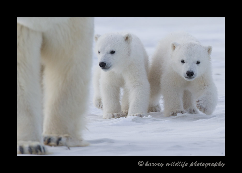 polar_bears_cubs_walking