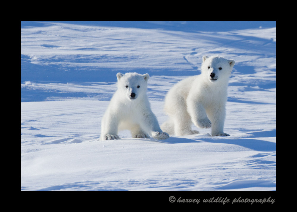 polar_twins