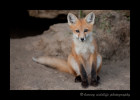 This red fox kit seemed bored as he came out of his den and just stared at me.