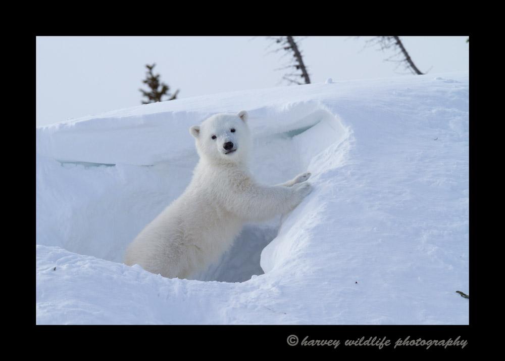 posing_polar_bear_cub