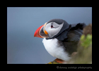 This picture depicts a puffin resting on one of the Latrabjarg cliffs in Iceland.